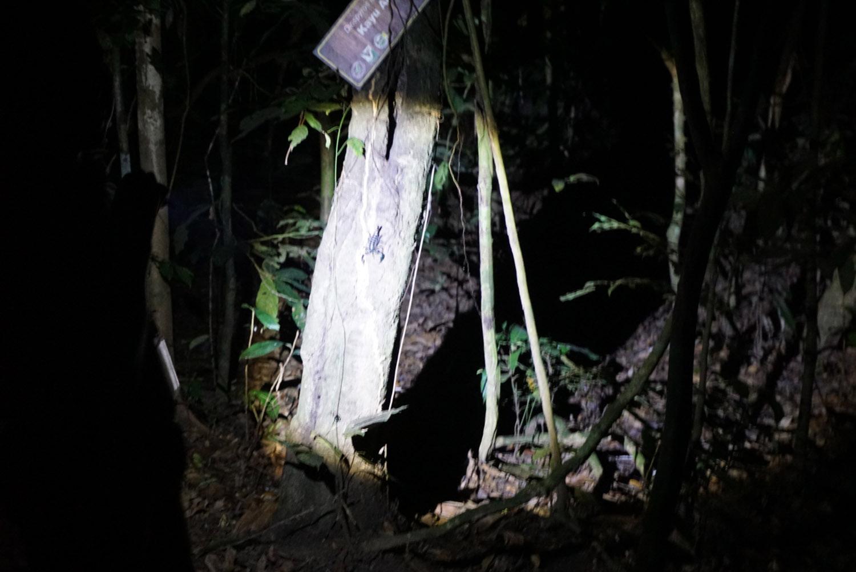 Scorpion in Taman Negara Malaysia