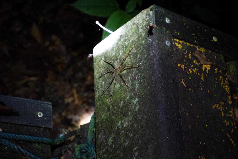 Huge spider in Taman Negara Malaysia