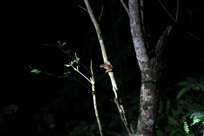 Small Frog on the Jungle Night Walk Taman Negara Malaysia