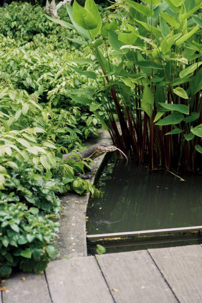 Monitor Lizard at Singapore Botanical Gardens - La Vie En Marine