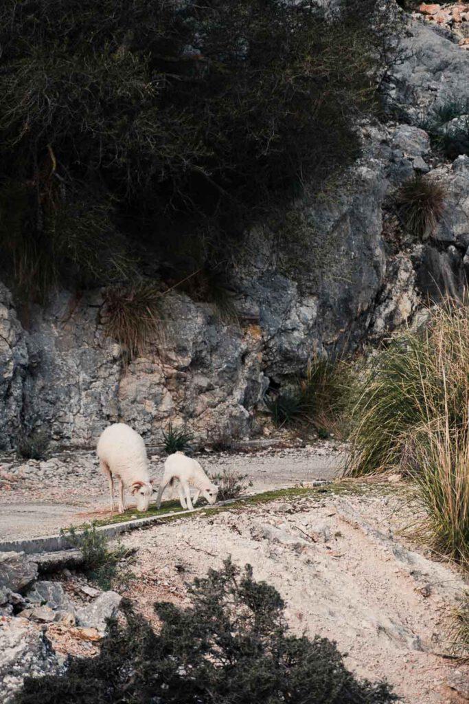 sheep, seen on a roadtrip in the serra de tramuntana