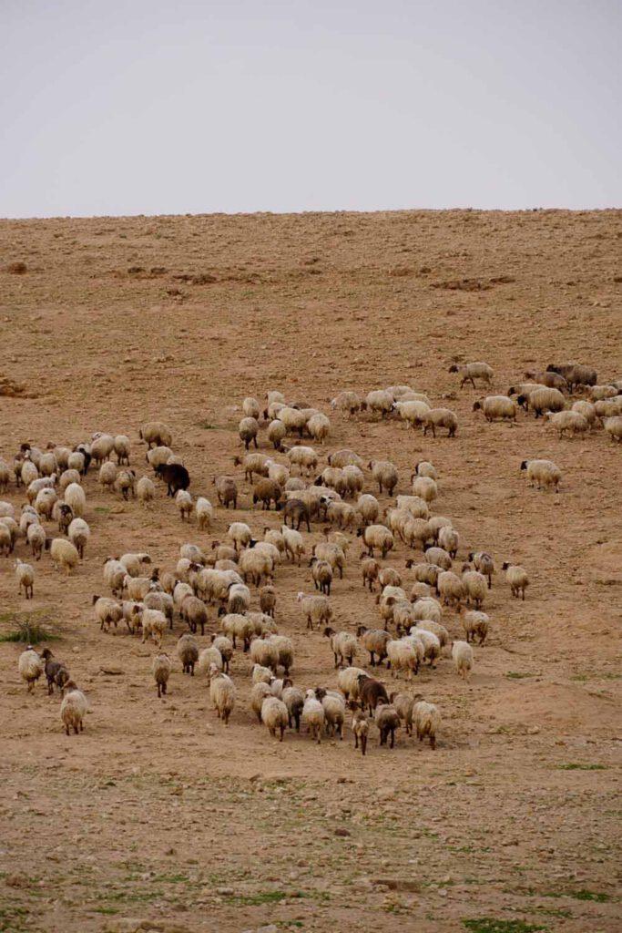 Sheep in the desert of Jordan