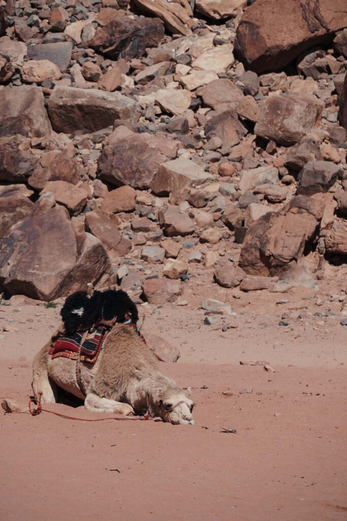 A camel napping in the desert