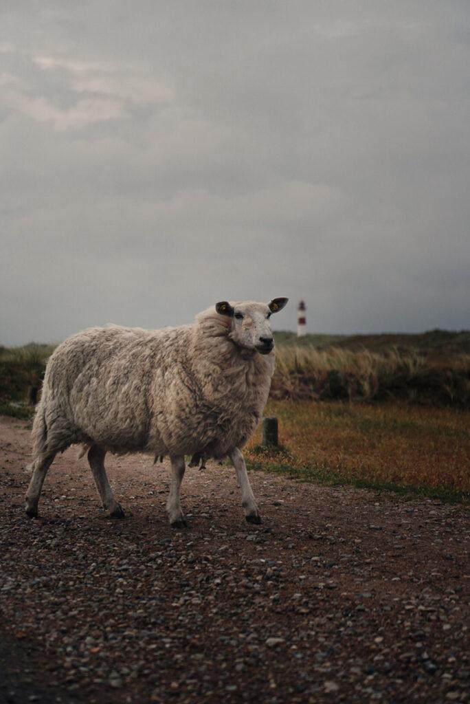 Sheep Roaming Around