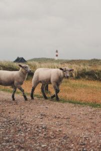 Sylt Ellenbogen Baby Sheep - Explore Sylt