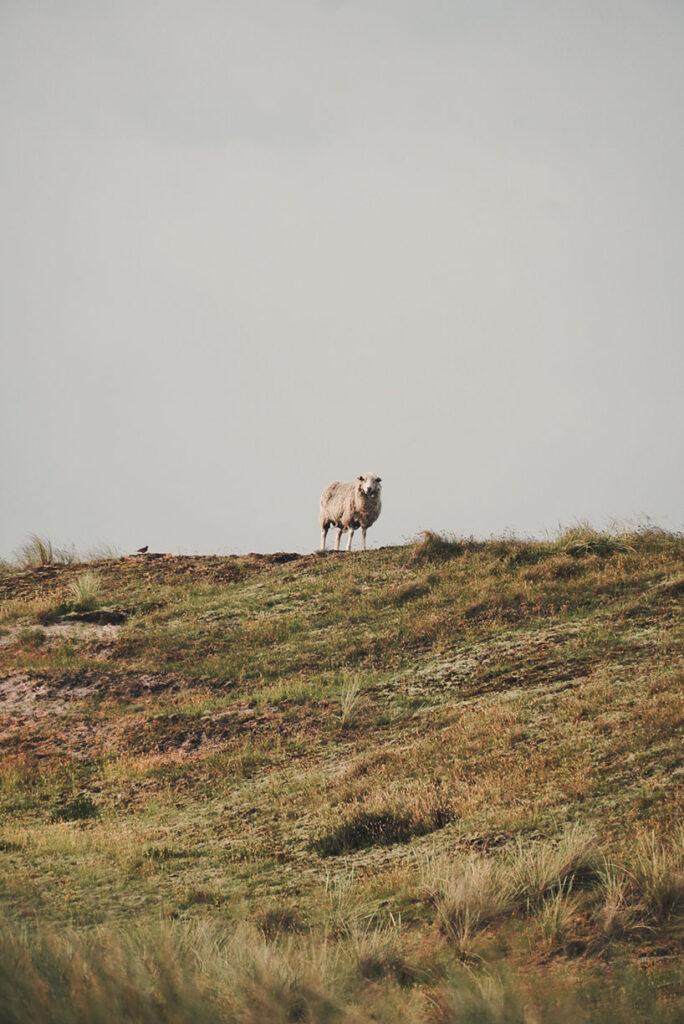 Sylt Ellenbogen Sheep from a distance - Explore Sylt