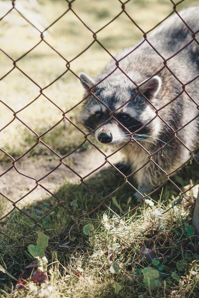 Raccoon Wildpark Düsseldorf